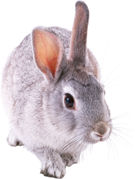 Rabbit PNG Free Download 10