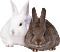 Rabbit PNG Free Download 12