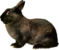 Rabbit PNG Free Download 14