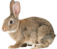 Rabbit PNG Free Download 15