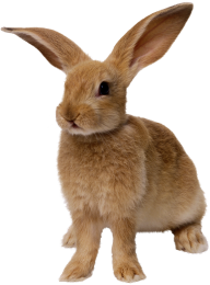 Rabbit PNG Free Download 17