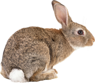 Rabbit PNG Free Download 2