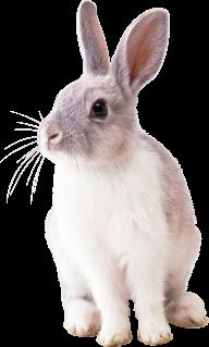 Rabbit PNG Free Download 22