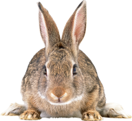 Rabbit PNG Free Download 23