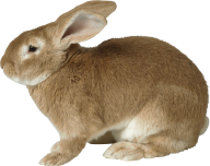 Rabbit PNG Free Download 5