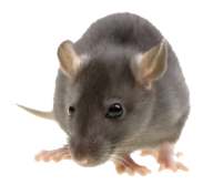 Rat Mouse PNG Free Download 1