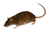 Rat Mouse PNG Free Download 10