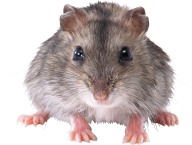Rat Mouse PNG Free Download 11