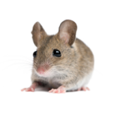 Rat Mouse PNG Free Download 12