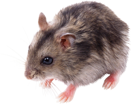 Rat Mouse PNG Free Download 13