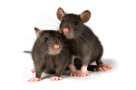 Rat Mouse PNG Free Download 3