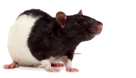 Rat Mouse PNG Free Download 4