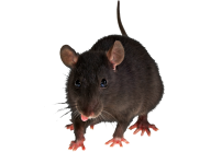 Rat Mouse PNG Free Download 5