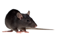 Rat Mouse PNG Free Download 6