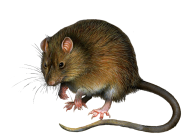 Rat Mouse PNG Free Download 8