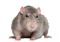 Rat Mouse PNG Free Download 9