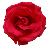 red flowered rose free png download (2)