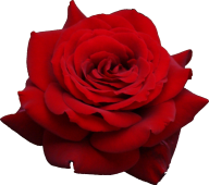 red flowered rose free png download