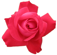 red rose pettal clipart free png download