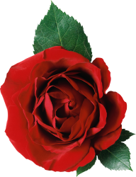 red rose with leaves free png download (2)