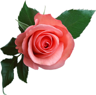 red rose with leaves free png download