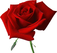 red rose with small leaves free png download