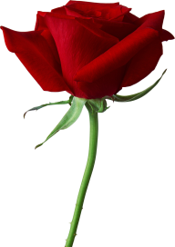 red rose with stick free png download