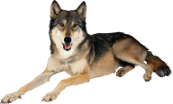 rested black wolf free png download