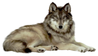 rested wolf free png download