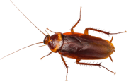 Roach PNG Free Download 10