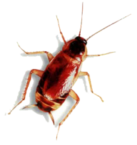 Roach PNG Free Download 16