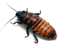 Roach PNG Free Download 20