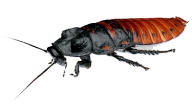Roach PNG Free Download 26