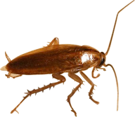 Roach PNG Free Download 29