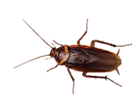 Roach PNG Free Download 3