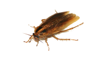 Roach PNG Free Download 4