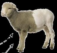 Sheep PNG Free Download 11