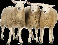 Sheep PNG Free Download 15