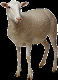 Sheep PNG Free Download 16