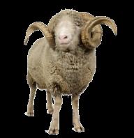 Sheep PNG Free Download 2