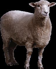 Sheep PNG Free Download 20