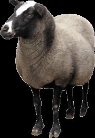 Sheep PNG Free Download 21
