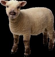 Sheep PNG Free Download 22