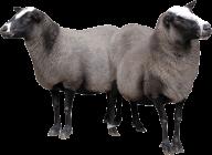 Sheep PNG Free Download 23