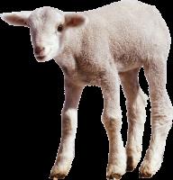 Sheep PNG Free Download 24