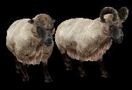 Sheep PNG Free Download 3