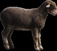 Sheep PNG Free Download 5