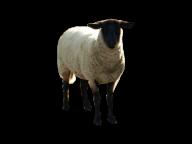Sheep PNG Free Download 6