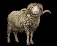 Sheep PNG Free Download 8