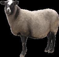 Sheep PNG Free Download 9